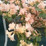 Rhododendron 'Alison Johnstone' - Find Azleas,Camellias,Hydrangea and Rhododendrons at Loder Plants